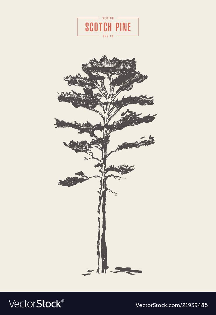 Vintage scotch pine hand drawn detail