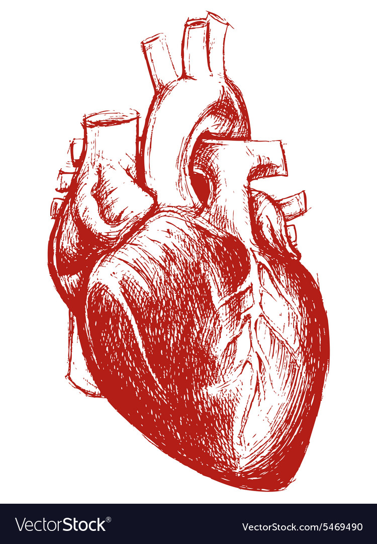 Human Heart Drawing Line Work Royalty Free Vector Image