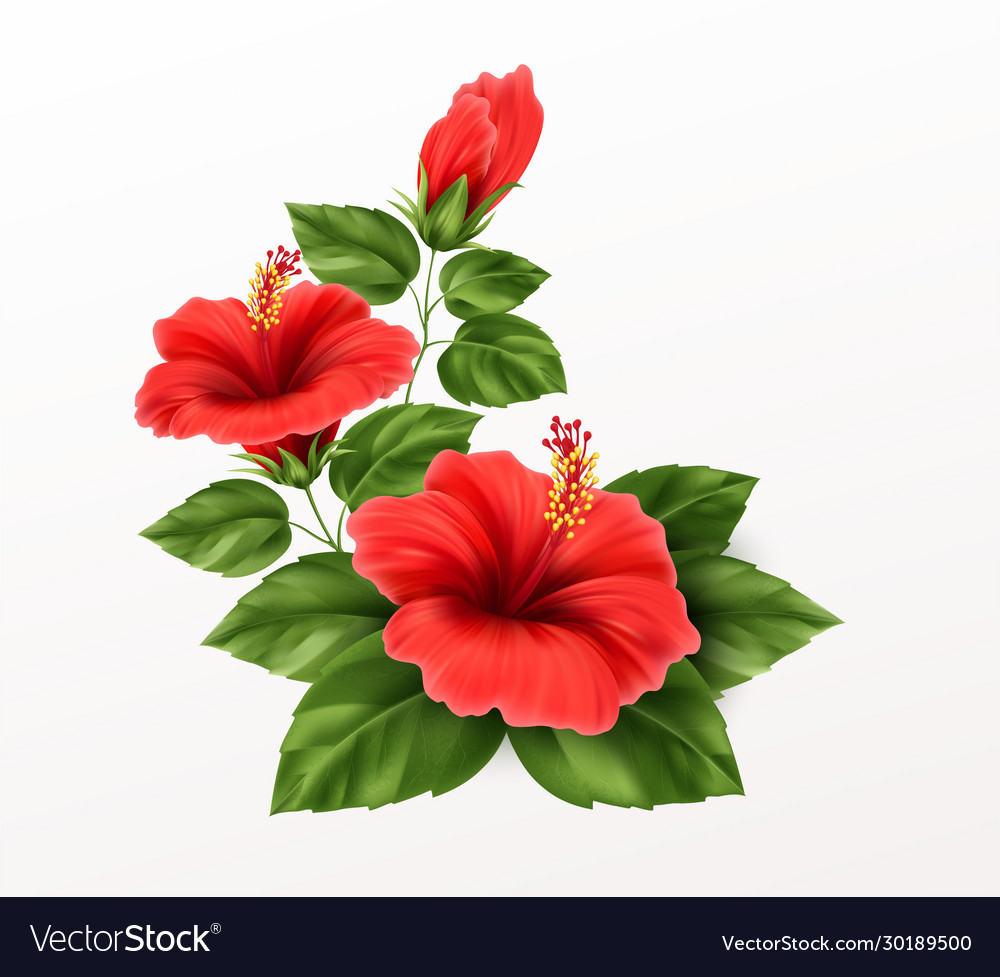 Beautiful hibiscus flower buds and leaves