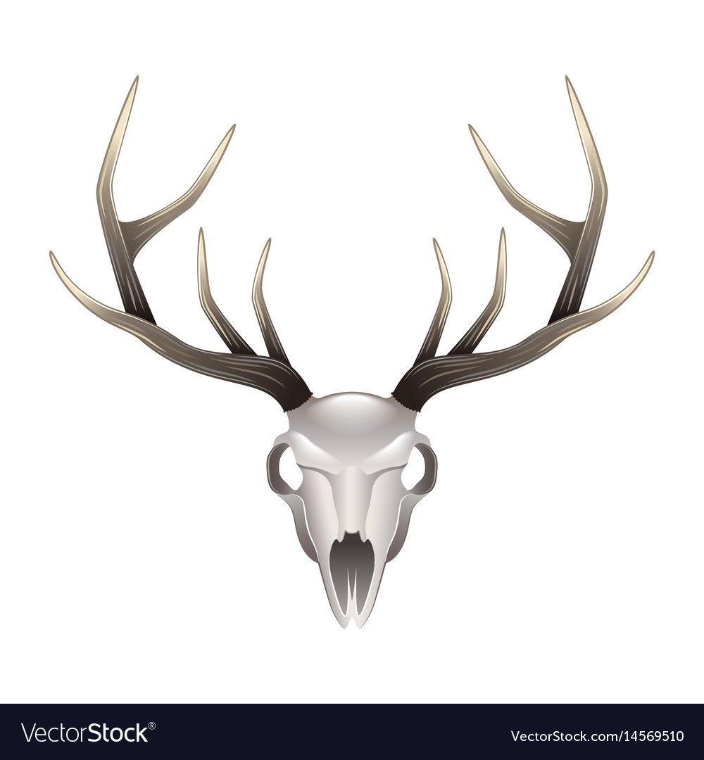 Deer skull front view isolated