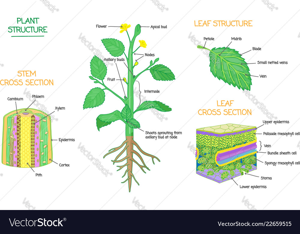 Plant structure and cross section biology diagrams