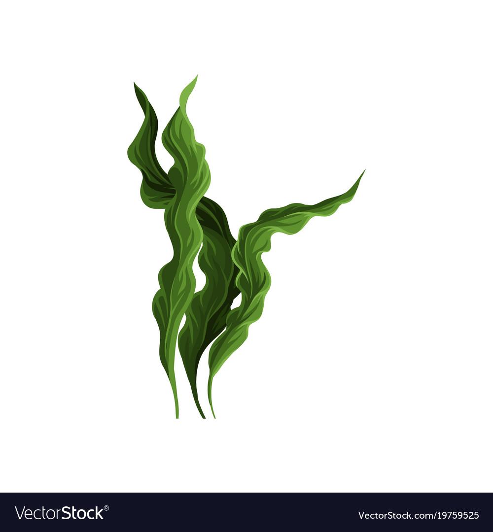 underwater seaweed spirulina aquatic marine algae vector image rh vectorstock com seaweed vector free seaweed vector png