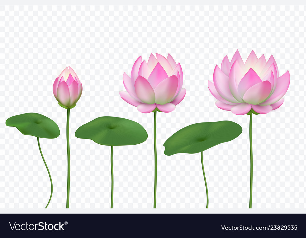 Realistic Lotus Pink Water Flower Blooming Pink Vector Image