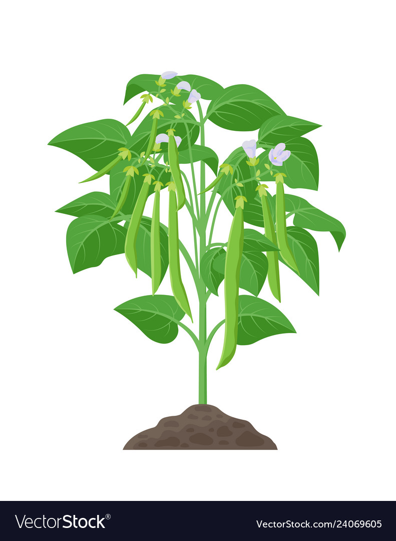 Bean Mature Plant Stock In Royalty Free Vector Image