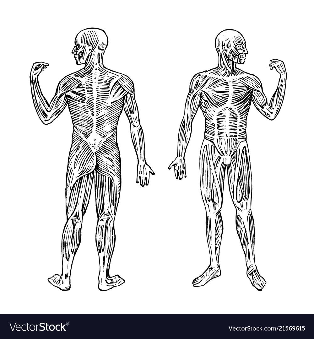Human anatomy muscular and bone system male body
