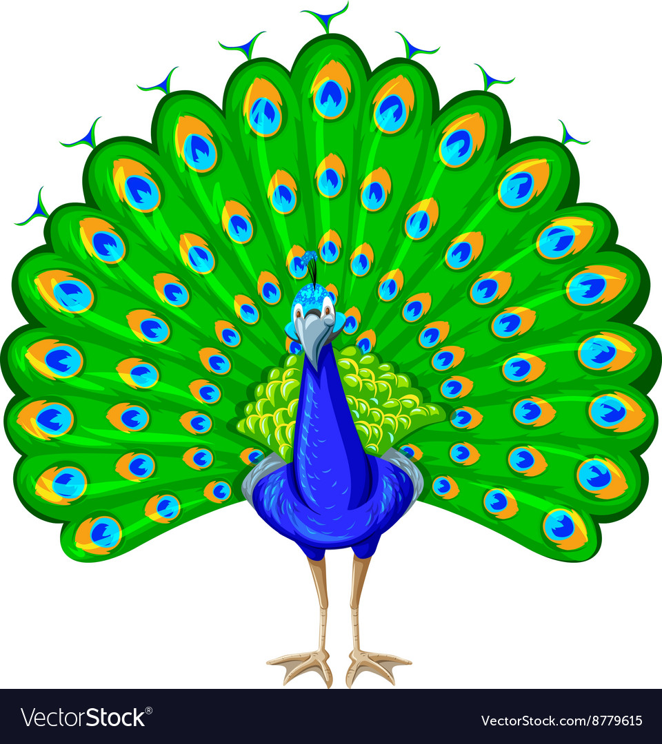 peacock with colorful feather royalty free vector image rh vectorstock com peacock vector image peacock vector file
