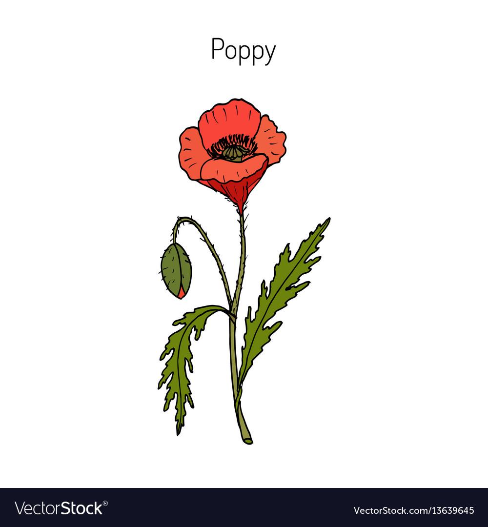 Opium Poppy Or Papaver Somniferum Royalty Free Vector Image