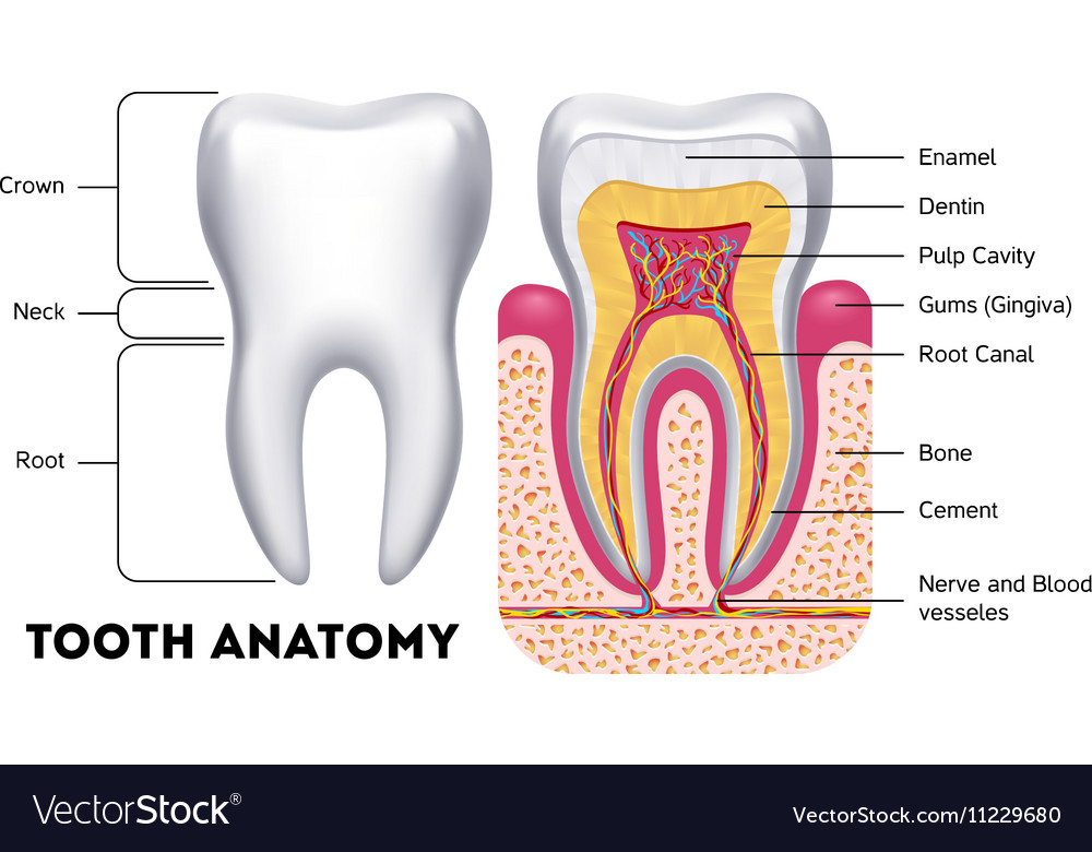 Tooth anatomy dental infographics Royalty Free Vector Image