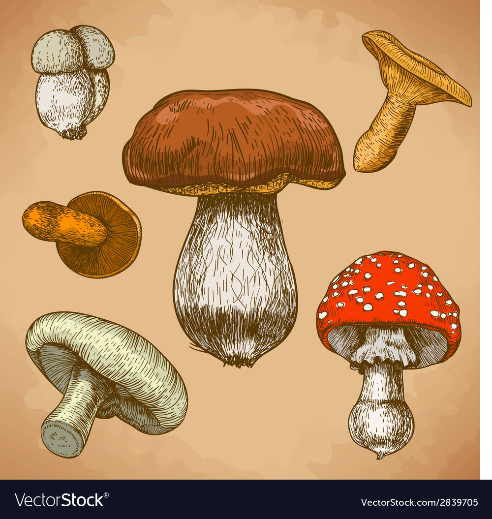 Engraving mushrooms retro