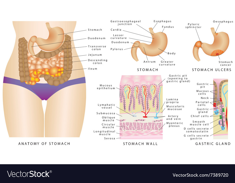 Stomach anatomy images