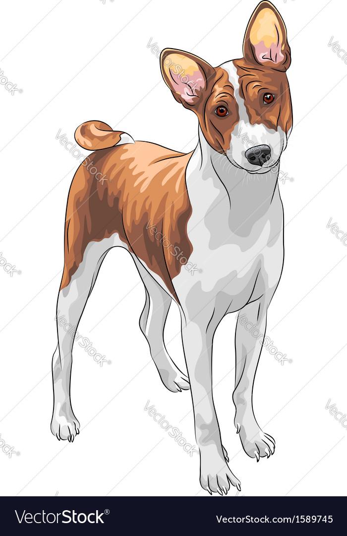 Hunting dog Basenji breed