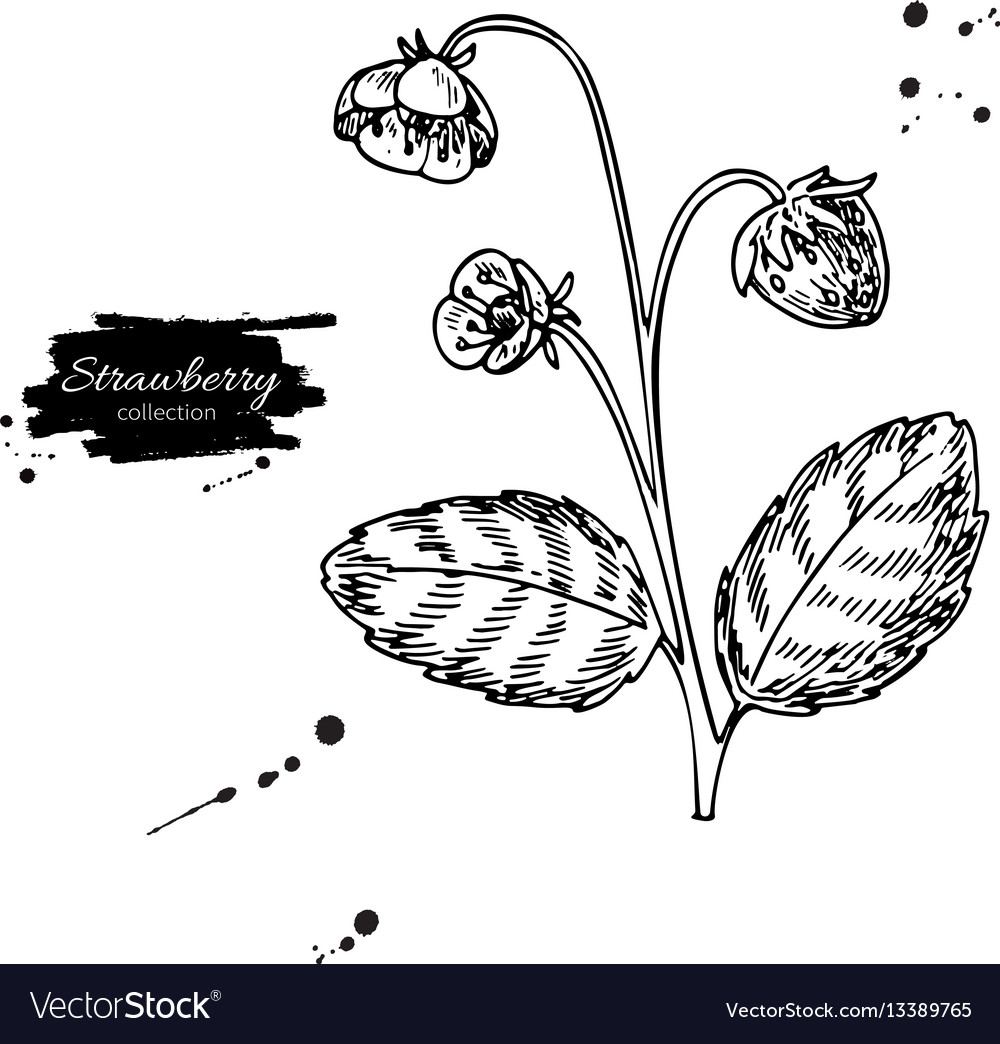 Strawberry plant drawing isolated hand