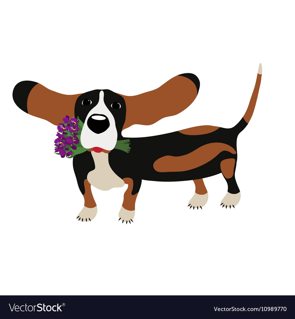 Dog Basset Hound with a bouquet of irises isolated