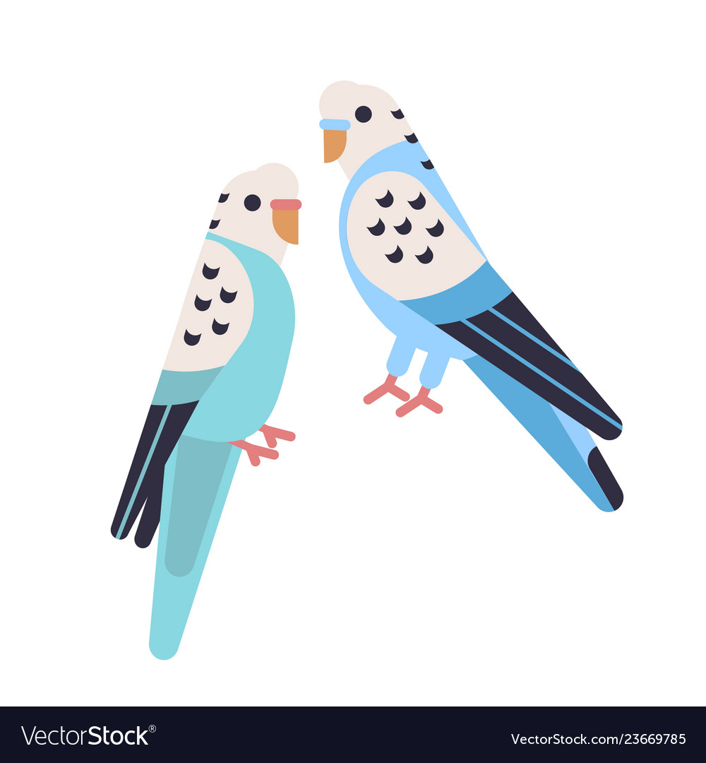 Pair cute budgerigars isolated on white background