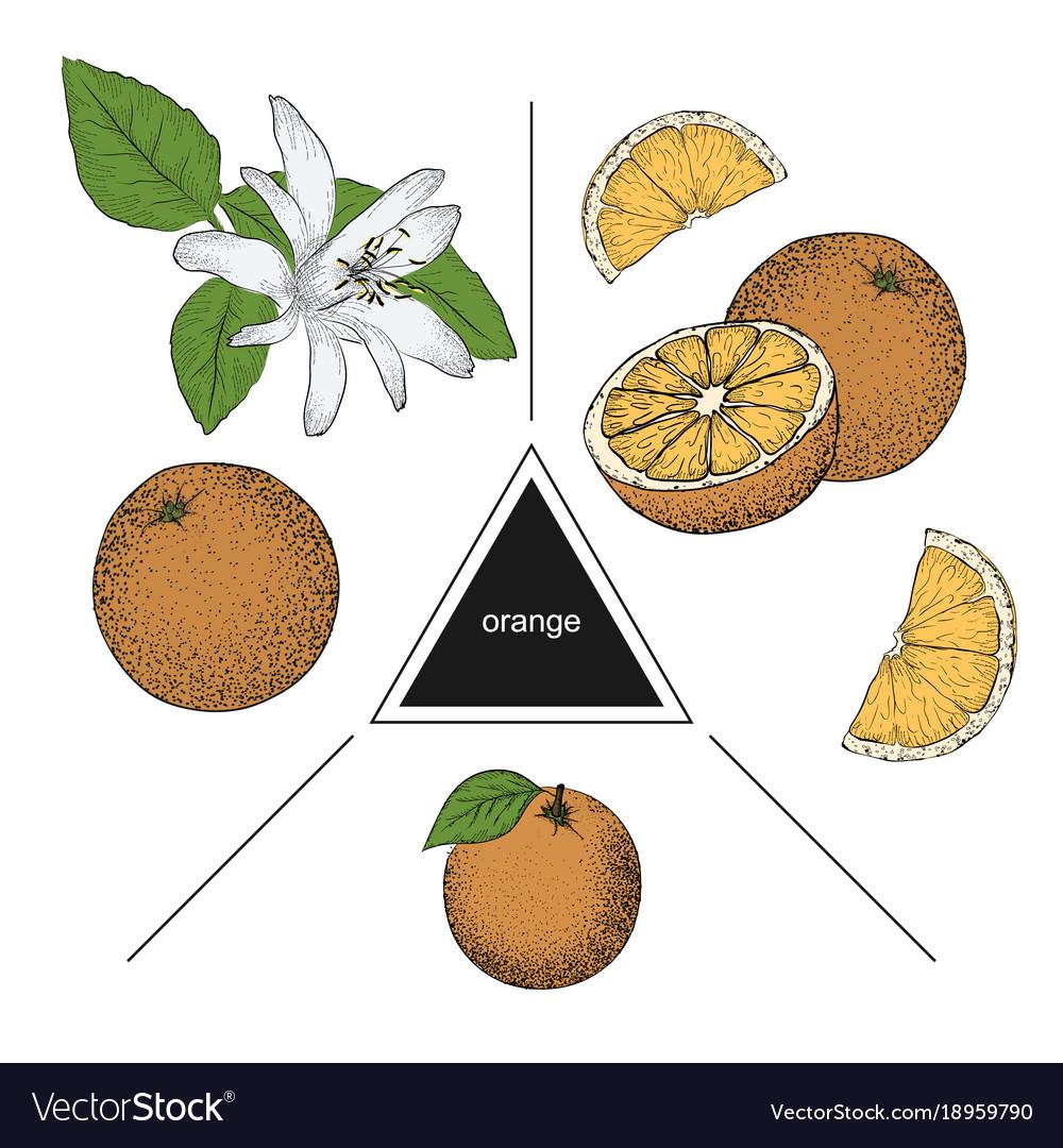 Set of fruits whole orange slices and orange