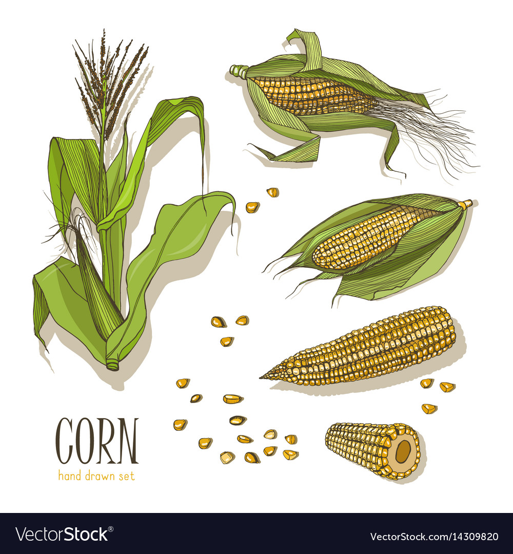 Set of corn plant colorful hand drawn collection