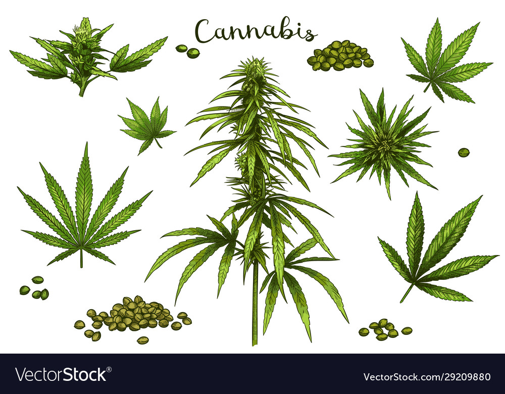 Color hand drawn cannabis green hemp plant seeds