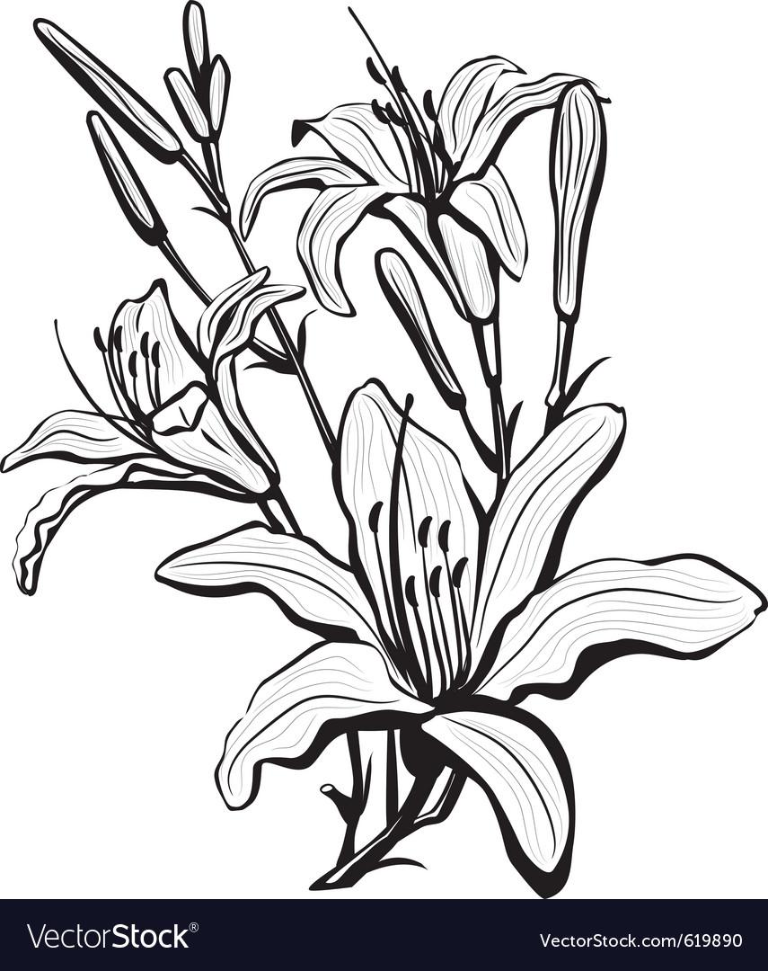 Sketch Lily Flowers Royalty Free Vector Image Vectorstock