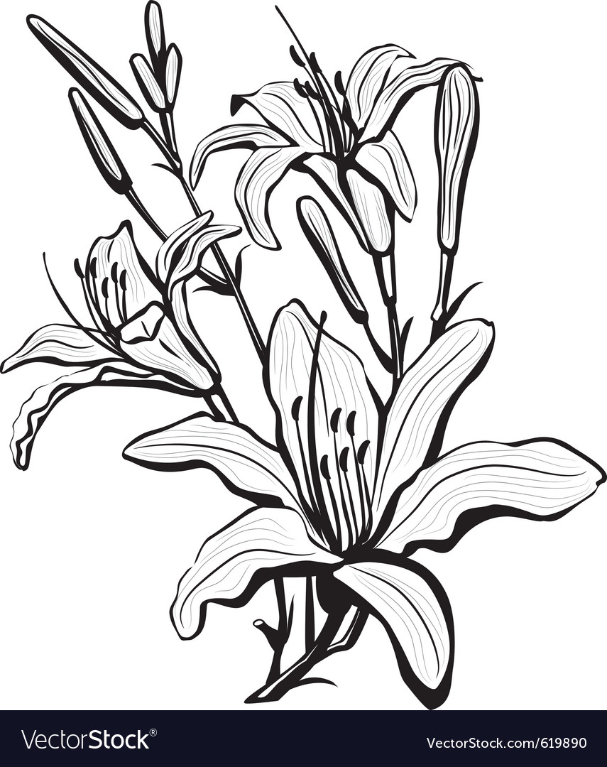 Sketch of lily flowers vector