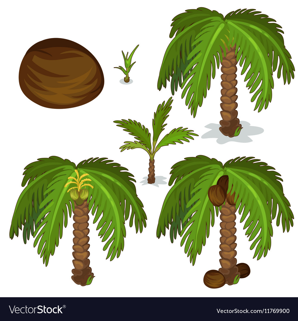 Planting and cultivation of coconut palm