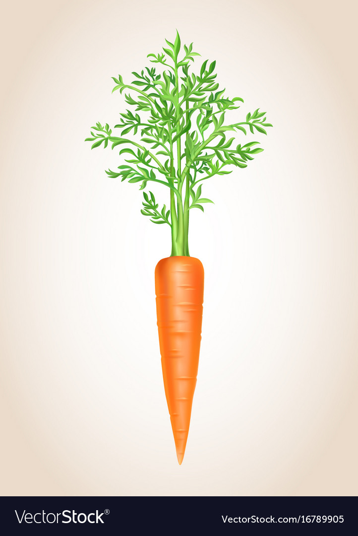 Carrot isolated vegetable