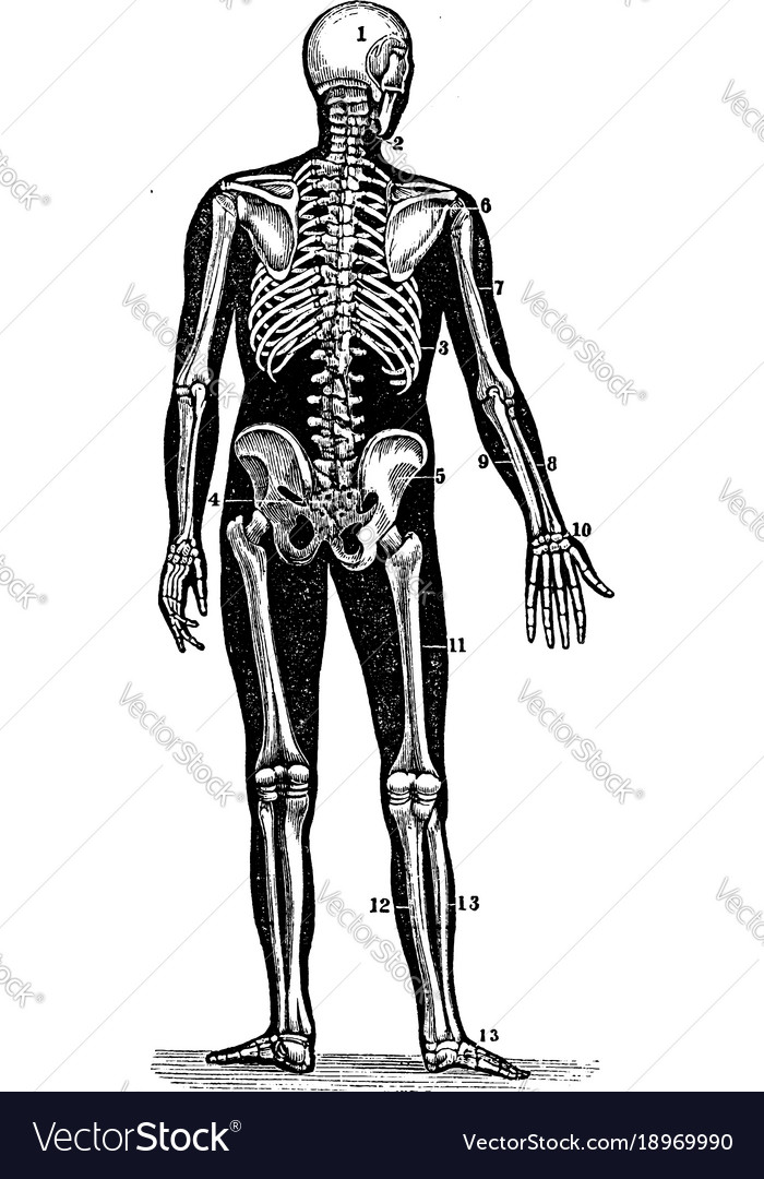 Back View Of A Human Skeleton Vintage Royalty Free Vector