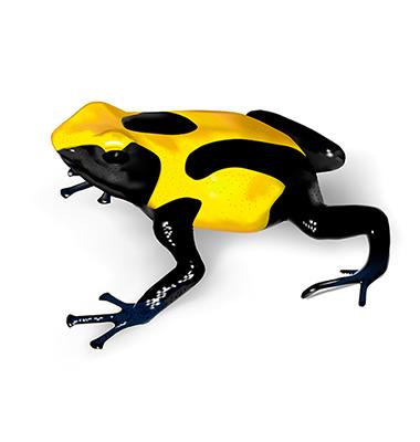 Poison Dart Frog. of poison dart frog Found