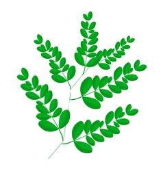 A Fresh Moringa Leaves on White Background vector