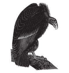 California vulture vintage vector