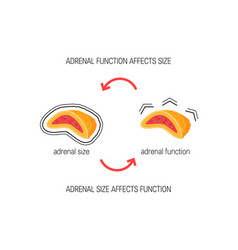 Functioning of adrenal glands diagram vector