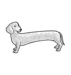 Very long dachshund dog sketch vector