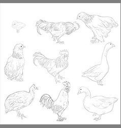 sketch of domestic birds vector image