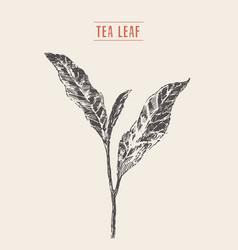 tea sprout drawn sketch vector image