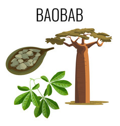African baobab tree and fruit with seeds color vector