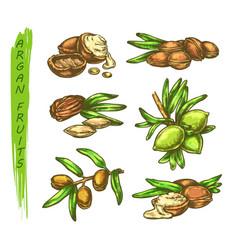 Sketch argan fruits in color vector