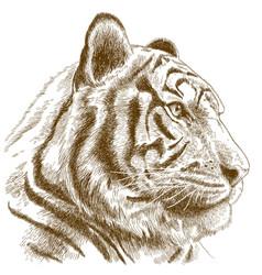 engraving of tiger head vector image vector image