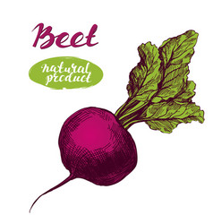 Beet vegetable detailed engraved vintage hand vector