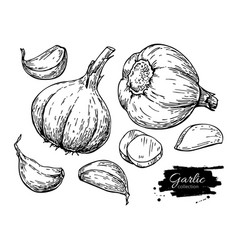 garlic hand drawn set vector image
