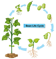 diagram showing bean life cycle vector image