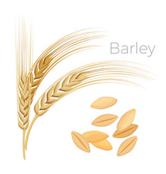 Barley ears of wheat cereals with grains vector