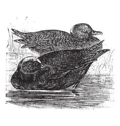 Wigeon vintage engraving vector image