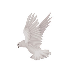 Gray dove in flying action bird with wide open vector