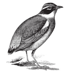 indian pitta vintage vector image