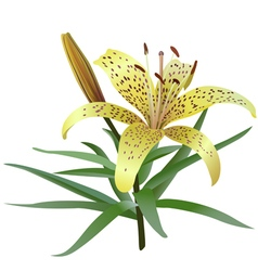 Photorealistic of yellow tiger lily vector image