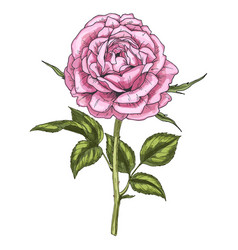 hand drawn pink rose flower isolated on white vector image vector image