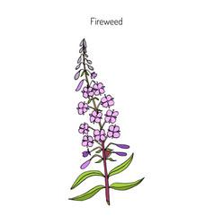 fireweed chamerion angustifolium vector image
