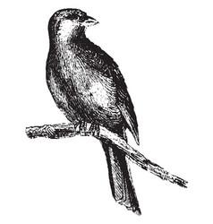 Canary vintage vector