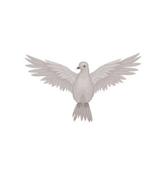 Gray dove in flying action with wide open wings vector
