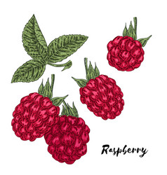 hand drawn color sketch berries ripe raspberry vector image