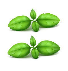 Set of green basil leaves on white background vector